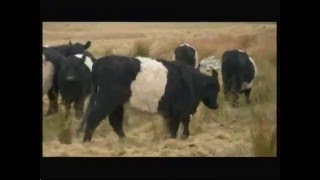 Belted Galloway 'Beltie' cattle - BBC - 17th April 2016