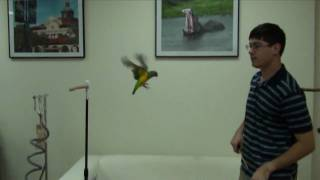 Kili Senegal Parrot - Flight Training Recall Second Day