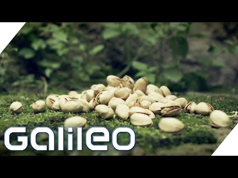 Der Weg der Pistazie | Galileo | ProSieben