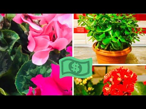 Комнатные цветы привлекающие финансовую прибыль в дом!