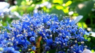 [HD]埼玉県・権現堂堤のアジサイHydrangeagarden花の名所案内