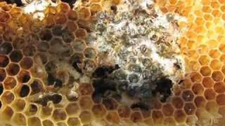 Maximally Revolting: Wax Moths