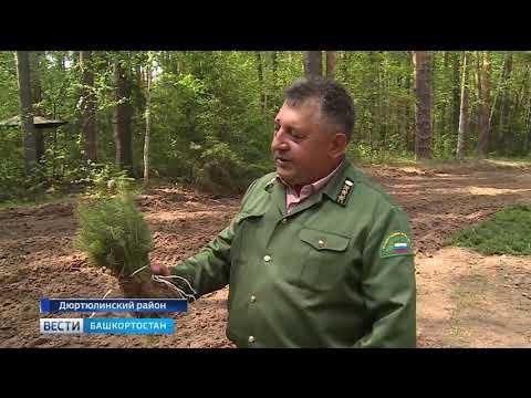 Как сегодня восстанавливают башкирский лес - репортаж «Вестей»