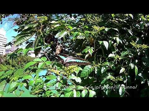 安い中国製のAction camでアオスジアゲハの飛翔を撮る
