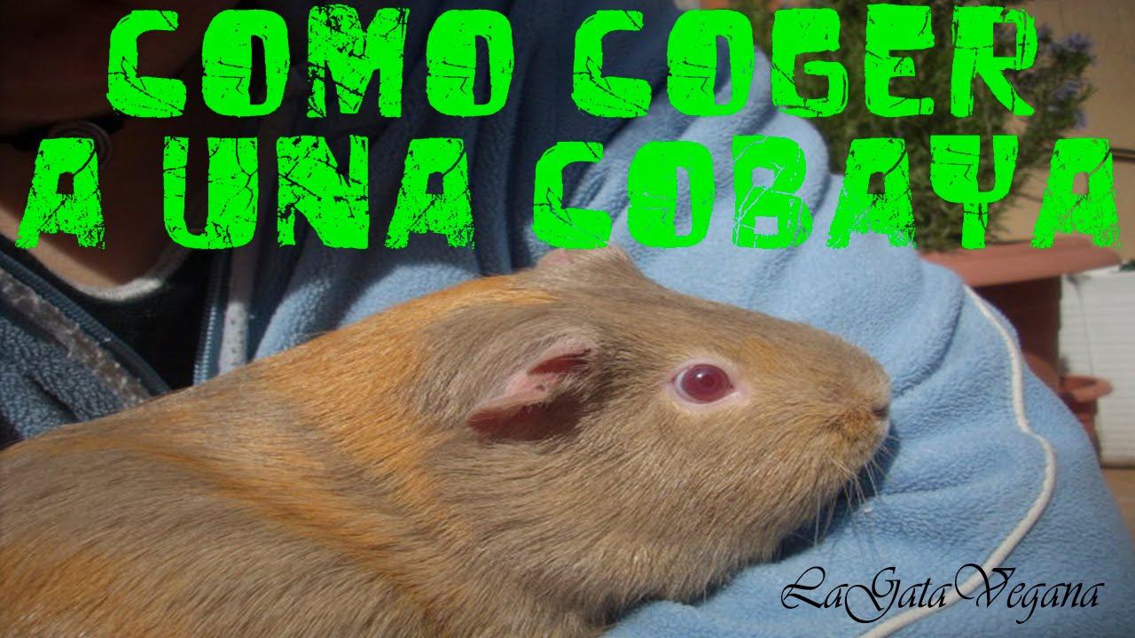 COMO COGER, LEVANTAR Y SUJETAR A UNA COBAYA / CONSEJOS PARA NO HACERLES DAÑO AL MANIPULARLAS