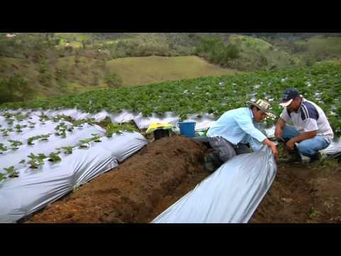 Escuela de Campo - Material vegetal para la Siembra de fresa -  Mayo 27 de 2013