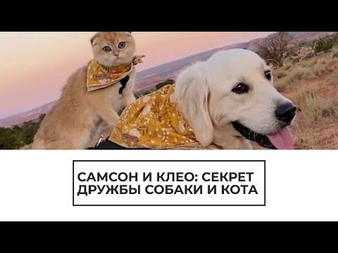 Золотистый ретривер и котенок — лучшие друзья