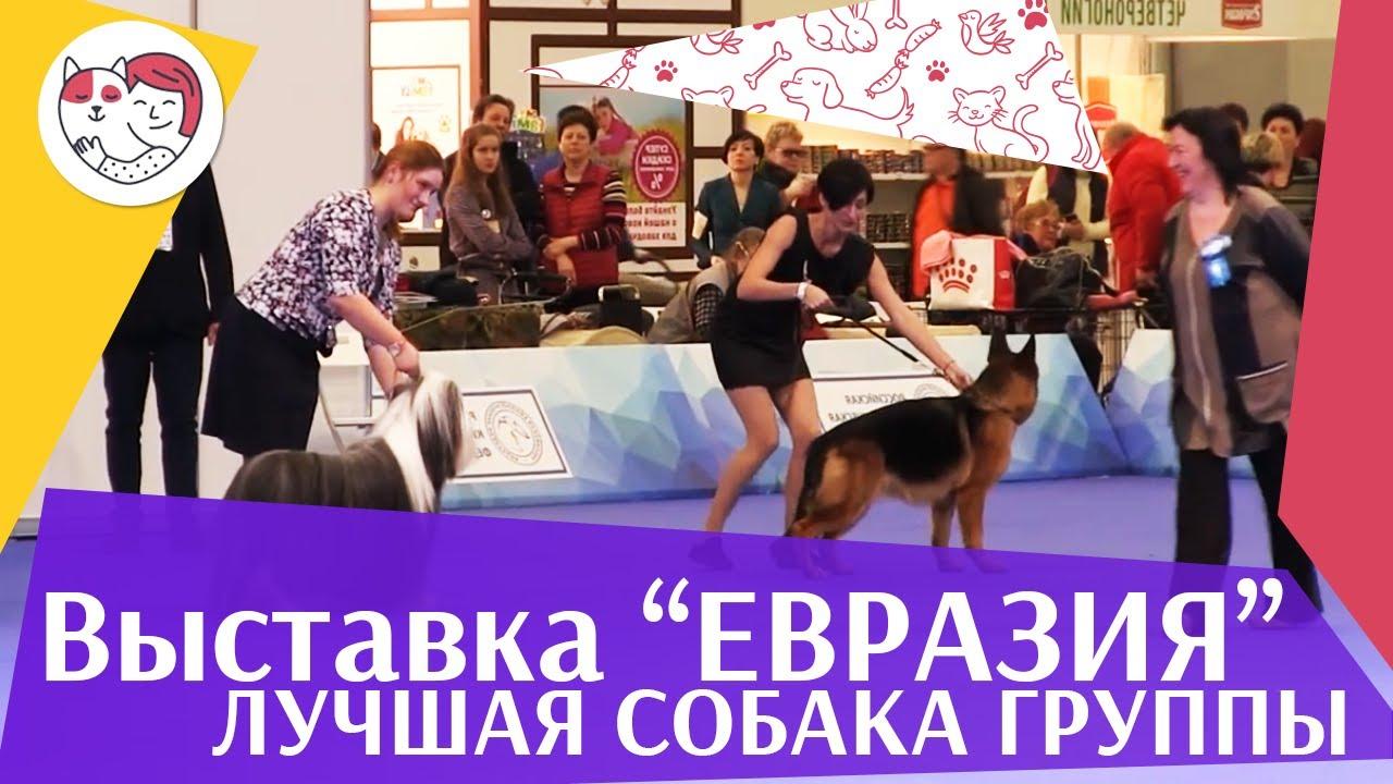 Лучшая собака 1 группы по классификации FCI 19 03 17 на Евразии ilikepet