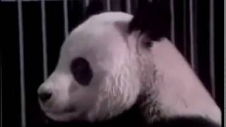 Panda Buzz like to give show to people