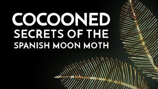 Cocooned - Secrets of the Spanish Moon Moth - Documentary