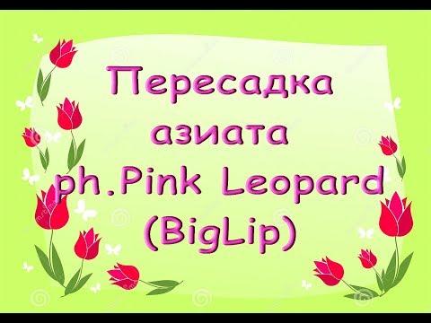 ОРХИДЕЯ БигЛип - phal.Pink Leopard:ПЕРЕСАДКА