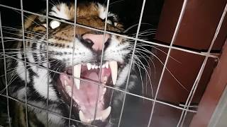 Best tiger roar ever !