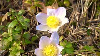 Eastern pasqueflower