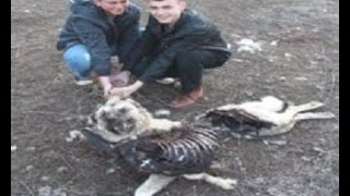 Pack of Wolves Killed Kangal Dogs & Sheep Flock  in Turkey!!! | Kholo.pk