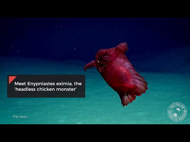 В водах Антарктики заметили загадочного безголового «цыпленка-монстра»