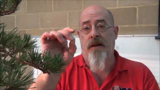 How to bend bonsai thick branches - Styling Two bonsai Scots Pines  - Part 2