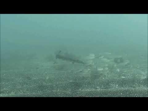 水中映像:シロギス