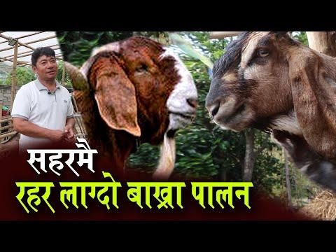 सानो लगानीमा शहरमै यसरी गर्नुहोस बाख्रा पालन, गरे हुन्छ उत्कृष्ट उत्पादन | Goat Farming in Nepal