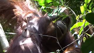 Newswise:Video Embedded orangutan-finding-highlights-need-to-protect-habitat