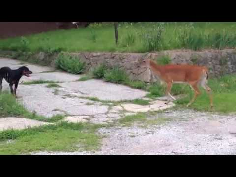 Deer Vs Dog Voice Over