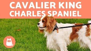 CAVALIER KING CHARLES SPANIEL - Tudo Sobre A Raça!