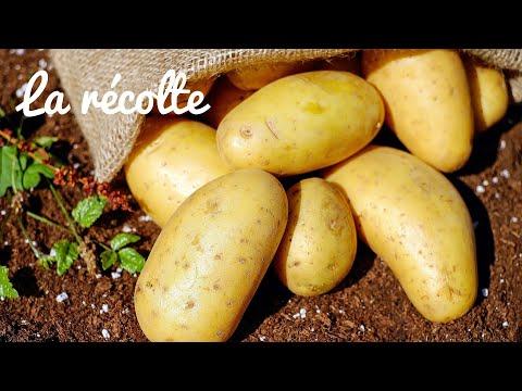 , title : 'Pommes de terre au jardin 5. Récolte, Nettoyage, dégâts, Stockage