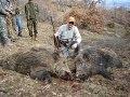 T A A K Kalecik Domuz Avı Wildboar Driven Hunting in Turkey