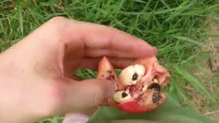 How to pick and eat ackee - legendary cheese fruit