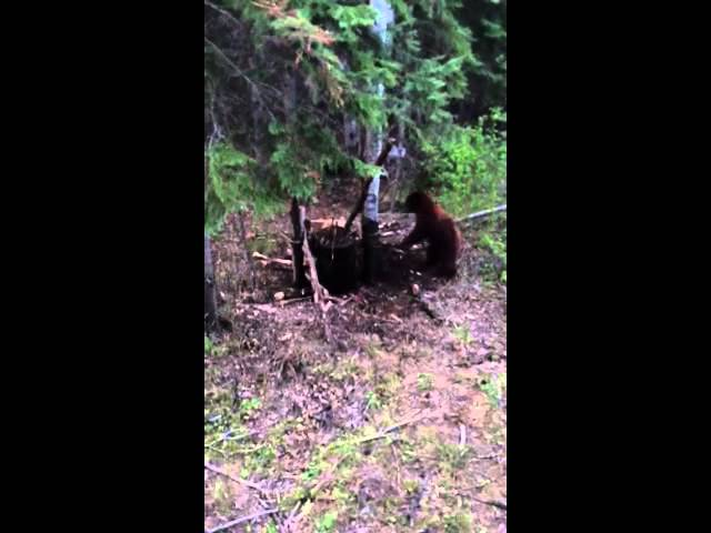 Bear Hunting Video Gallery