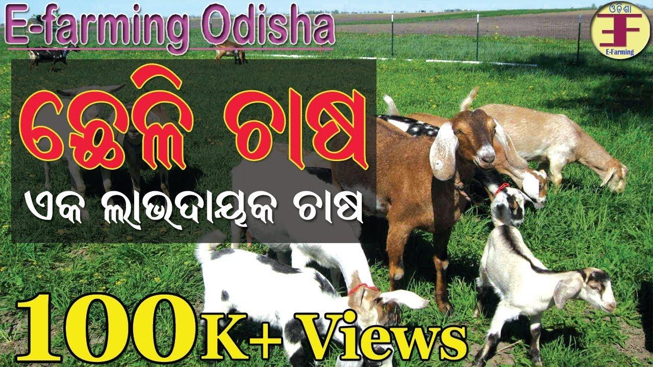 Goat Farming in Odisha(Goat farming business in odisha