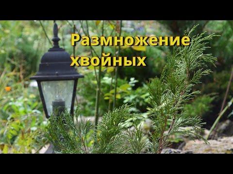 Как размножаются хвойные растения