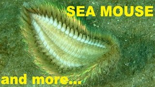 SEA MOUSE and more creatures