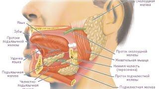 Пищеварение в ротовой полости. Биология 8 класс.