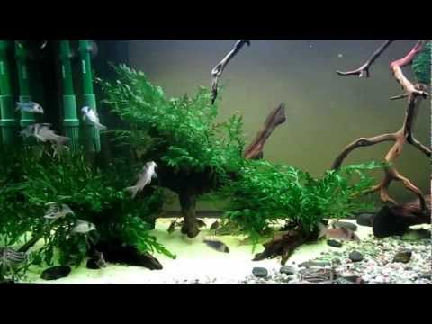 CORYDORAS TANK UPDATE:  NEW COMERS C. EQUES!!!