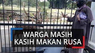 Masih PSBB di Kota Bogor, Warga Cuek Kasih Makan Rusa Istana Bogor saat Libur Lebaran