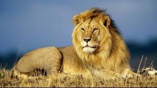 El León Rey de la Selva Leones Asesinos Cazando vs Hienas Tigres Jirafas Osos Salvajes...