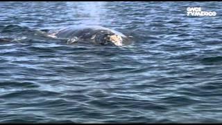 El libro rojo, Especies amenazadas - Ballenas, tres gigantes y una pequeña en peligro