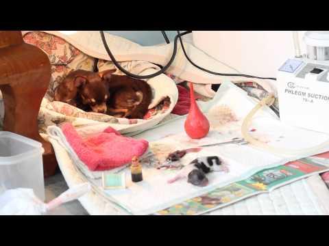 ลูกสุนัขอาเจียนหนอนหลังจาก glistogonki