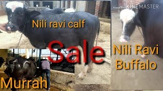 winner murrah buffalo calf - मुफ्त ऑनलाइन