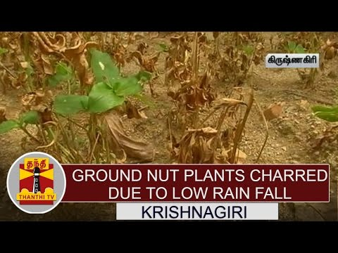 Groundnut-plants-charred-due-to-Low-Rain-Fall-Farmers-Demand-compensation-Thanthi-TV