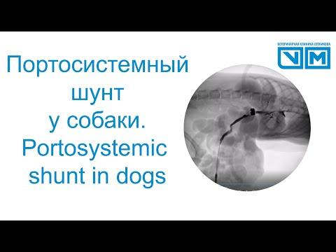 Портосистемный шунт у собаки. Как проверить что прооперировал правильно?Portosystemic shunt in dogs.