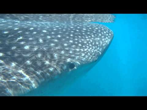 swimming with whale sharks, Isla Holbox