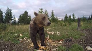 Bear eating in front of GoPro camera