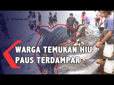 hiu paus tutul terdampar di pantai pekutatan