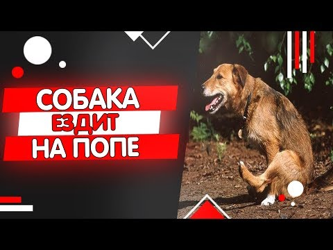 Почему собака ездит на попе по полу, параанальные железы