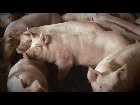 Schwein konventionell - Rückverfolgbarkeit