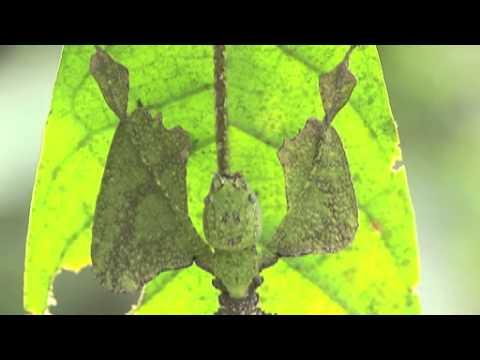オオコノハムシの擬態
