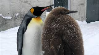 Young King Penguin covered in brown fluffy down at Asahiyama Zoo キングペンギン ヒナが巨大毛玉化!? 旭山動物園