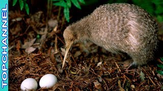 5 Especies Asombrosas De Ave Kiwi