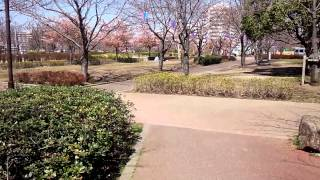 小松川千本桜のイメージ